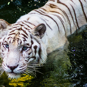 helloTiger by Max Ooi - Animals Lions, Tigers & Big Cats