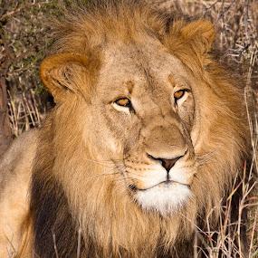 Young male lion by Simon Joubert - Animals Lions, Tigers & Big Cats ( lion, cat, mane, south africa, male, leo, panthera, nambiti )
