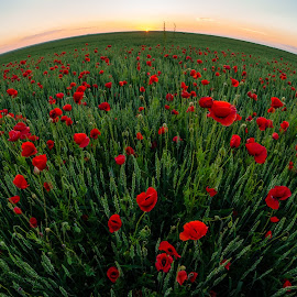 poppies, so much poppies..... by Lupu Radu - Landscapes Prairies, Meadows & Fields ( field, fisheye, red, dobrogea, green, sunset, poppies,  )