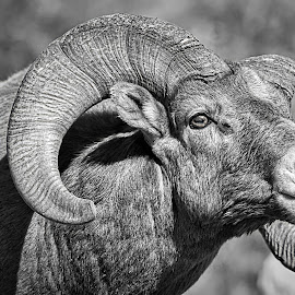 Alpha Ram by Bruce Newman - Animals Other Mammals ( black and white, dramatic, wildlife, nature up close, bighorn, portriat )
