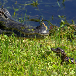 Watchful Eye by George Nichols - Animals Reptiles ( scary, lake, teeth, young, mother nature, eyes, reptiles, ancient, native, mother, florida, alligator, reptile, swamp, eye, animal )