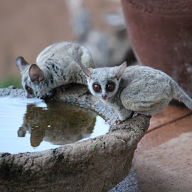 Bushbabies drinking water by Lydia Schoeman - Animals Other