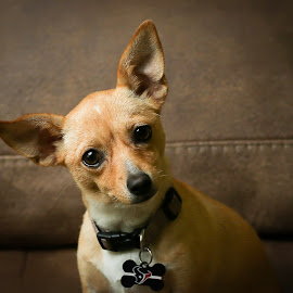 Chiweenie by Larry Welch - Animals - Dogs Portraits
