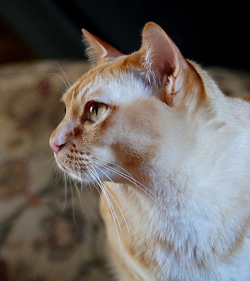 burmese cat by Caroline Beaumont - Animals - Cats Portraits ( burmese cat )