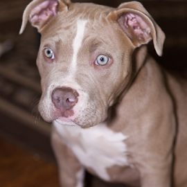 Angel by Joe Fernandez - Animals - Dogs Puppies ( angel, pet, pit bull, blue nose, puppy, pit, bull, dog )