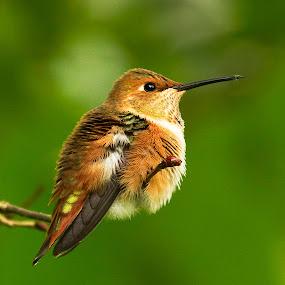 Rufous Hummingbird by Sheldon Bilsker - Animals Birds ( bird, nature, park, hummingbird, animal )