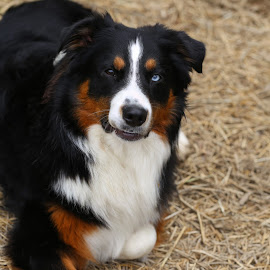 Boomer by Lora Shank - Animals - Dogs Portraits ( west virginia, australian cattle dog, white, australian shepherd, nature, blue, pet, blacktri, alpha, blue eyes, puppy, brown, baby, dog, black, animal, aussie )