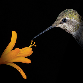 Symbiosis by Briand Sanderson - Digital Art Animals ( bird, crocosmia, calypte anna, female, hummingbird, anna's hummingbird, adult, animal )