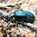 Meloe oil beetle