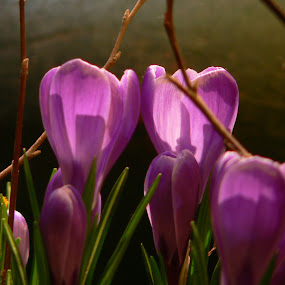 lighted tulips by Erin Meisner - Nature Up Close Flowers - 2011-2013 ( purple, display, tulips, flowers, spring, light )