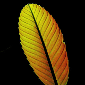 Daun Simpur by Zulkifli HAL - Nature Up Close Leaves & Grasses