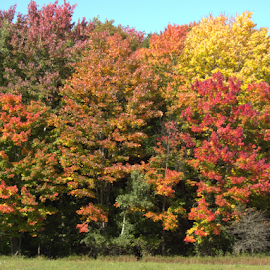 Fall Color Trees  by Tina Tippett - Nature Up Close Trees & Bushes ( forests, trees, landscapes,  )