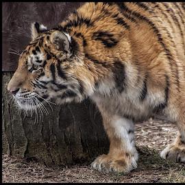 Focused  by Thomas Alexander - Animals Lions, Tigers & Big Cats ( nikon d7100, columbus zoo and aquarium, sleepingbear imagewear )