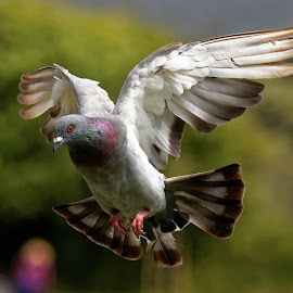 Pigeon Glide by Raphael RaCcoon - Animals Birds ( pigeon, bird, flying, wings, feathers )