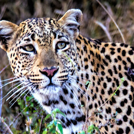 Portrait of a Leopard by Pravine Chester - Animals Lions, Tigers & Big Cats ( big cat, nature, wildlife, leopard, animal )