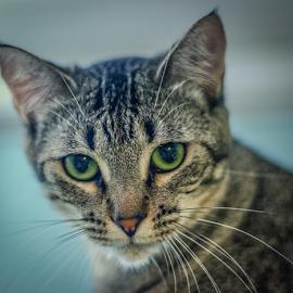 Cat Eyes by Myra Brizendine Wilson - Animals - Cats Portraits ( green cat eyes, cats, cat, pet, pets, sebrina, geeen, green eyes, feline,  )