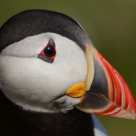 Puffin by Pat Somers - Animals Birds