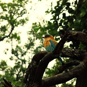 An Indian Roller by Sudipta Mukhopadhyay - Novices Only Wildlife ( bandhabgar, tree, cloudy, india, birds )
