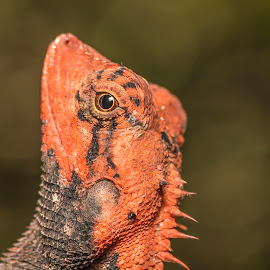 Calotes! by Sadatul Islam - Animals Reptiles