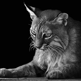 Bobcat Reflects B&W by Shawn Thomas - Black & White Animals