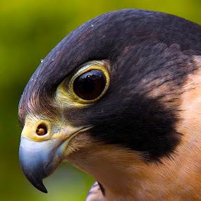 Falcon by D. Bruce Gammie - Animals Birds ( bird, hunter, beak, falcon, close up )