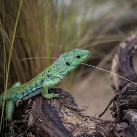 Ocellated Lizard by Jack Lewis McClure - Animals Reptiles ( colour, lizard, colorful, blue, ocellated lizard, green )