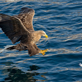 Incoming by Leigh Lofgren - Animals Birds ( wild, birds of prey, seabirds, japan, nature, wildlife, eagles, birds )