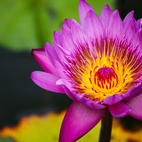 Fuchsia Waterlily by Nicolas Los Baños - Nature Up Close Flowers - 2011-2013 ( waterlily, tropical, garden, flower, hawaii,  )