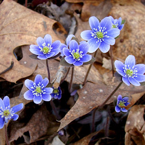 Spring time in the forest. by Carolyn Kernan - Flowers Flowers in the Wild (  )