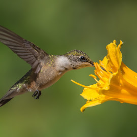 Yum Yum by Roy Walter - Animals Birds ( bird, hummingbird, wildlife, garden, animal )