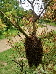 Photo 2 / 2 - June 2017 Winkworth Boat-House Azalea Honey-bee Swarm