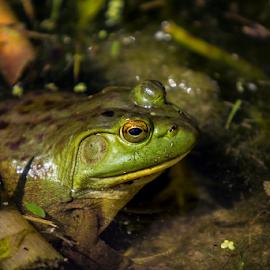 by Kevin Callahan - Animals Amphibians