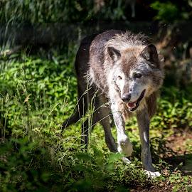 wolf by Jesper Holgaard - Animals Other Mammals ( washington d.c., usa )