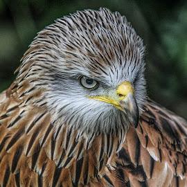 Kite by Garry Chisholm - Animals Birds ( bird, garry chisholm, nature, wildlife, prey, raptor )