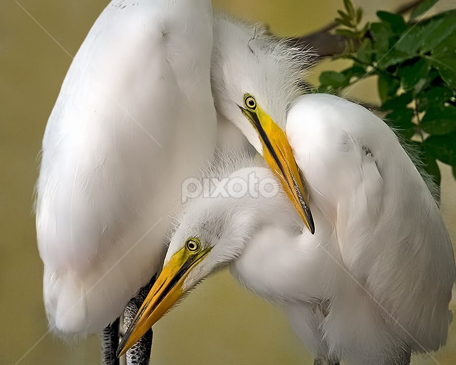 Juveniles by Shelly Wetzel - Animals Birds ( white egrets, juveniles, wildlife, birds )