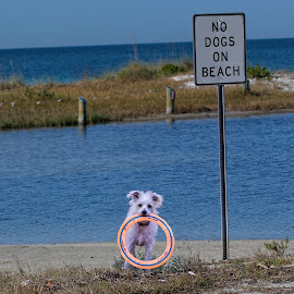 Come on, no one will know! by Sandy Scott - Animals - Dogs Playing ( pets, small dogs, domestic animals, toys, nature, white dog, signs, humor, ocean, beach, dog, playful, landscape, fun )