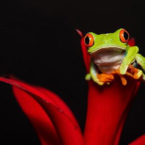 Tree frog on red brom.jpg