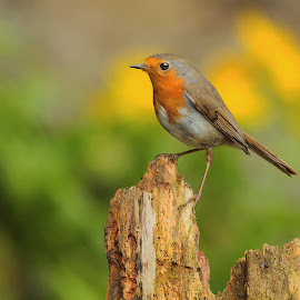 European Robin -  Erithacus rubecula - by Halil Karahmetovič - Animals Birds