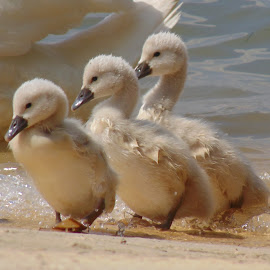 Three small swans by Predrag Videnović - Animals Birds