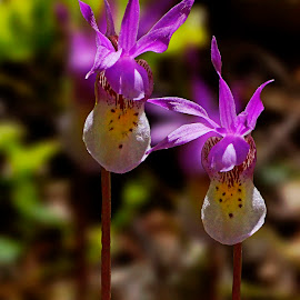 Fairy Slippers by Marko Ginsberg - Flowers Flowers in the Wild ( wild, flowers, fairy slipper,  )