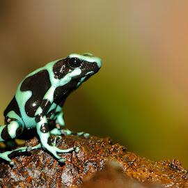 Dendrobate auratus by Gérard CHATENET - Animals Amphibians
