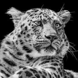 by Judy Rosanno - Black & White Animals