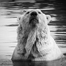 Proud bear by Garry Chisholm - Black & White Animals ( bear, polar, garry chisholm, nature, wildlife )