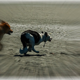 Catch Me if You Can!:-) by Keith Cyr - Animals - Dogs Running