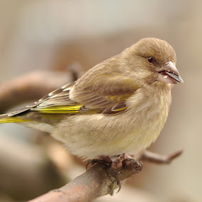 Greenfinch by Dalia Račkauskaitė - Animals Birds ( bird, european greenfinch, nature, carduelis chloris )