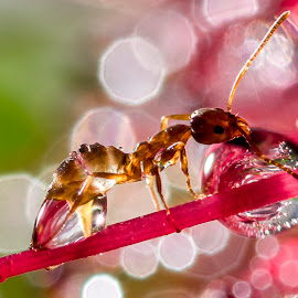 Thirsty ant by Adriaan Vlok - Animals Insects & Spiders ( droplet, water ant, ant droplet, ant, ant flower water )