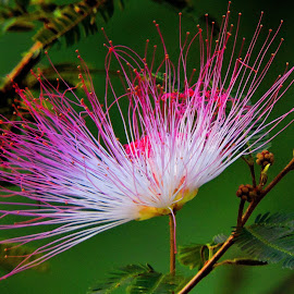 POWDER PUFF by SANGEETA MENA  - Flowers Flowers in the Wild (  )