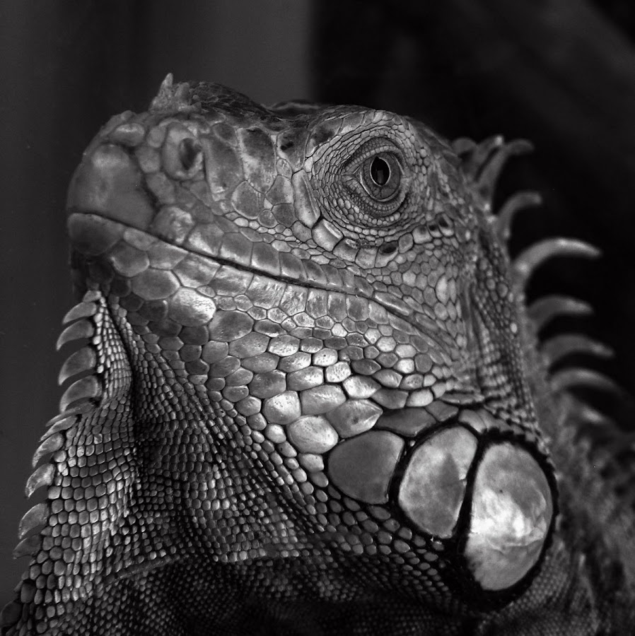 silver knight by Brut Carniollus - Animals Reptiles ( black and white, pet, silver, iguana, reptile,  )