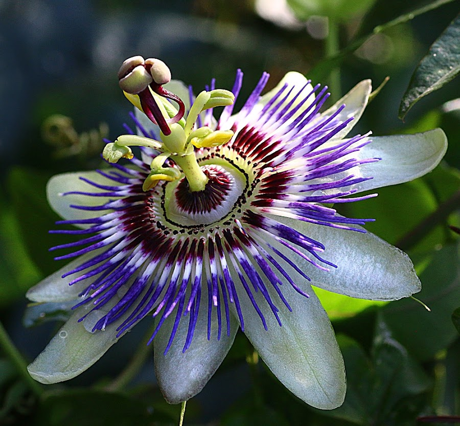 Still Blooming in November! by Chrissie Barrow - Flowers Single Flower ( stigma, single, purple, stamens, petals, green, passiflora, maroon, white, passion flower, flower, sepals )