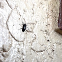Unknown Spotting ( Beetle )